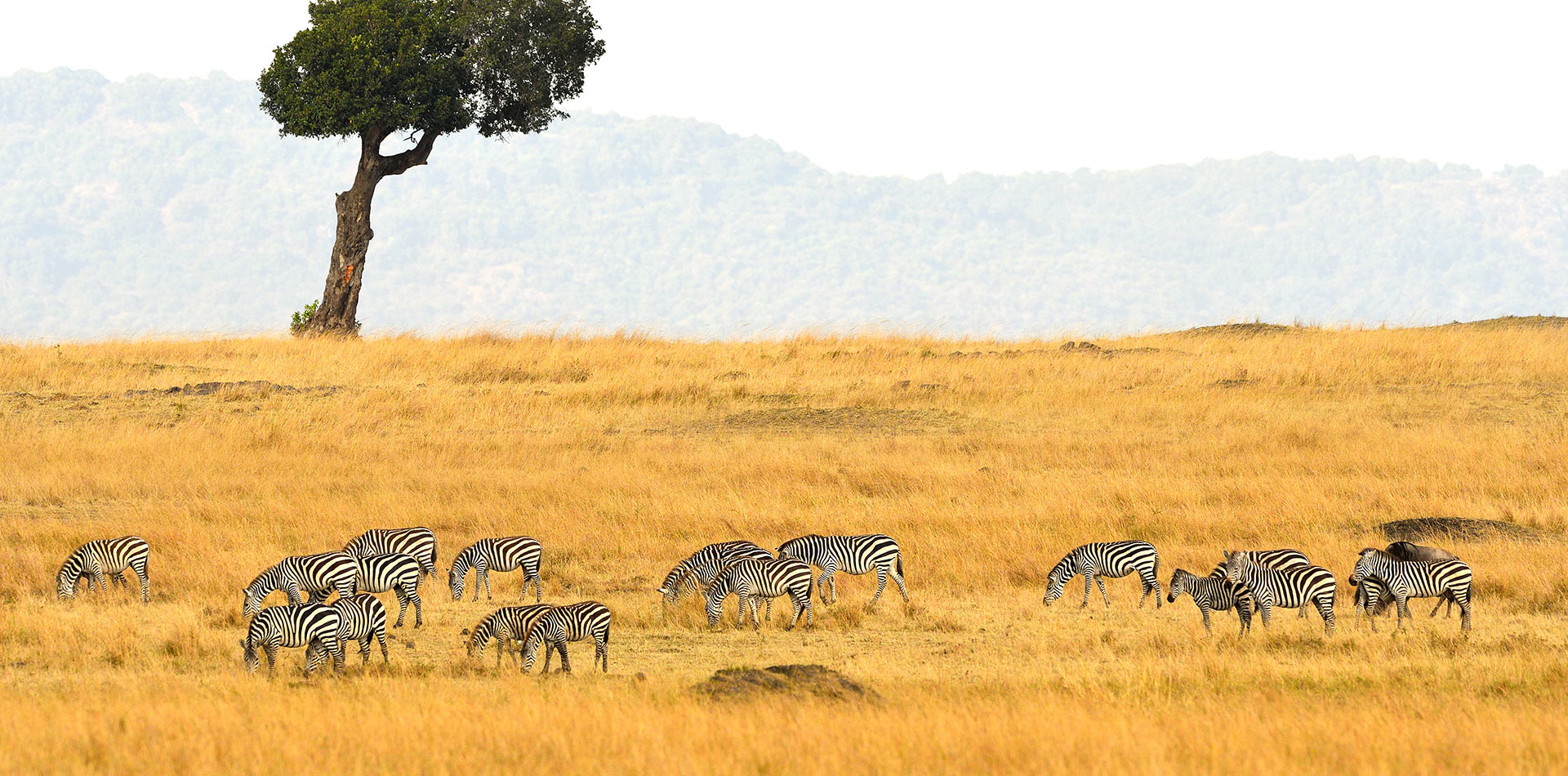 Zebra Plains Masai Mara